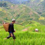 Hoće li Kinezi morati da gaje GMO biljke kako bi se prehranili