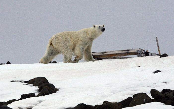 Beli medvedi će nestati: Dramatično upozorenje naučnika /video/